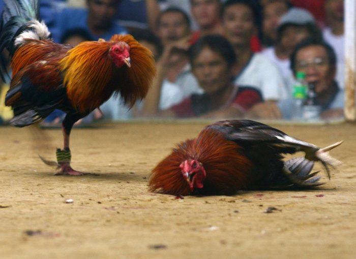 Fasilitas Terbaik Permainan Judi Sabung Ayam Online